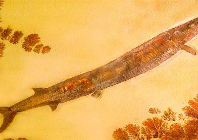 Aspidorhynchus-acutirostris