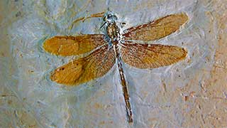 Mufomi, libélula fósil