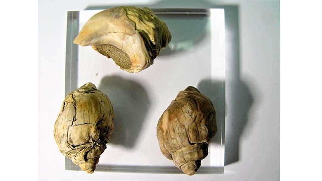fosiles-antartida-museo-Atleta-sp.