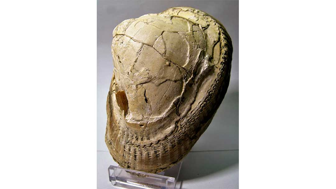 fosiles-antartida-museo-Barbatia-sp