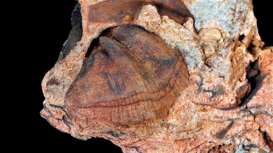 Braquiópodos: Euryspirifer pellicoi
