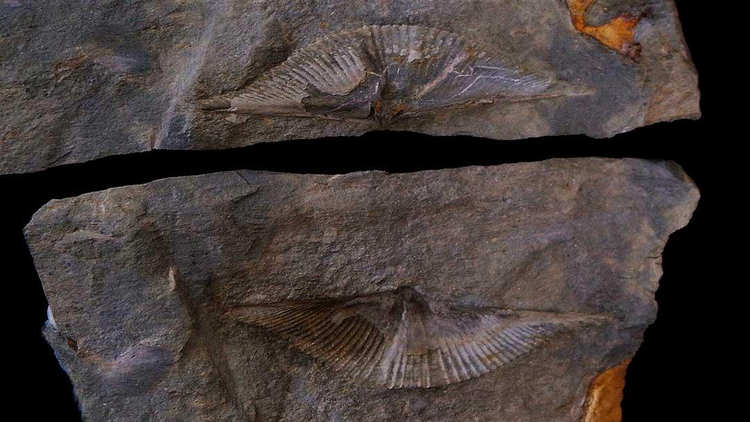 Braquiópodos del Museo Mufomi