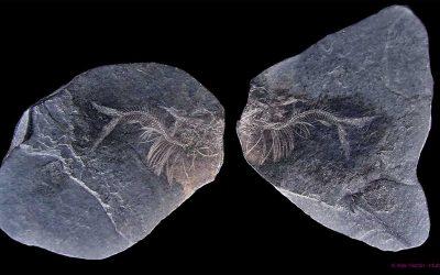 Peces fósiles del museo. 1